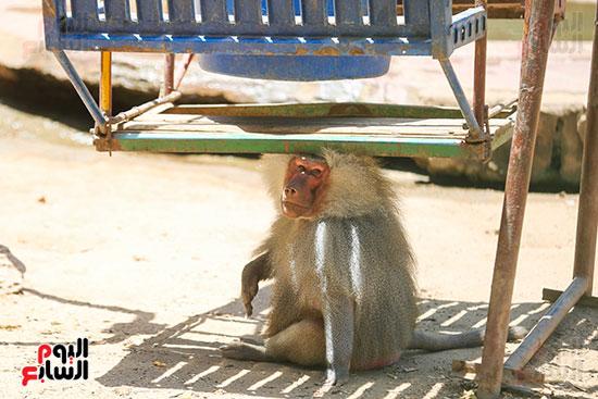 القرد يجلس اسفل المظله
