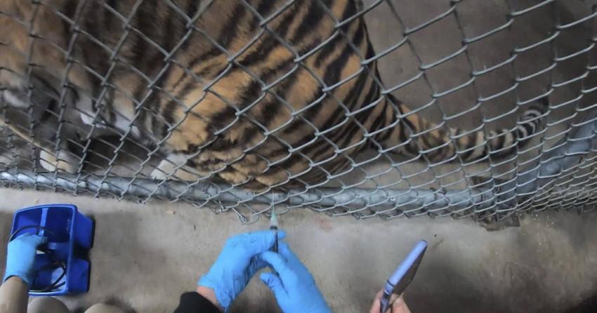 تطعم النمور ضد فيروس كورونا