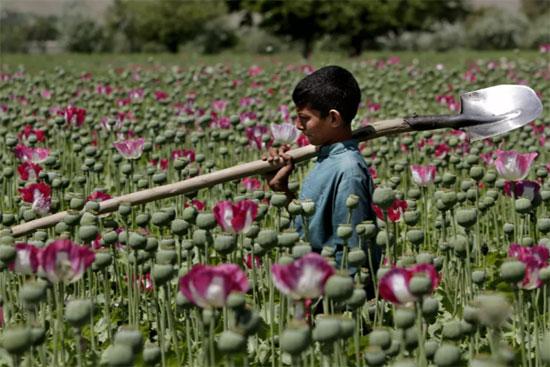طفل أفغاني يمشي في حقل الخشخاش