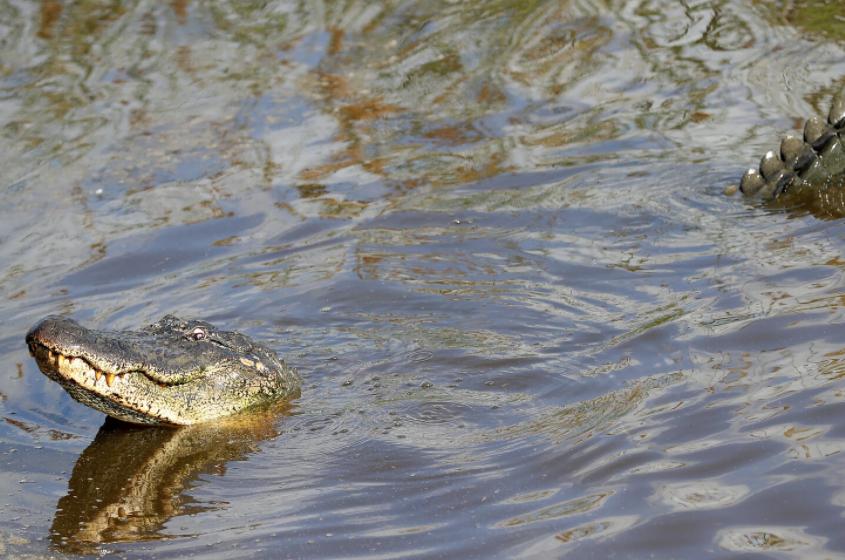Flood crocodiles