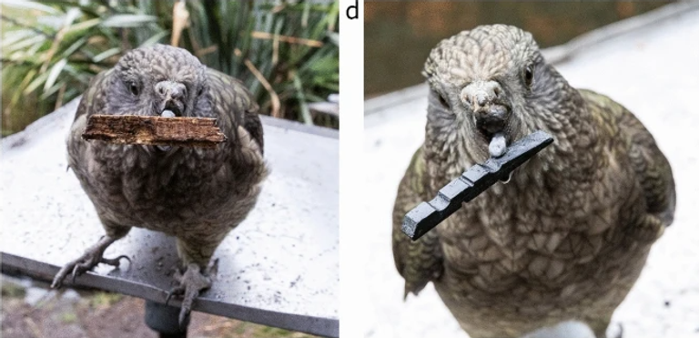 The parrot adapts to his disability