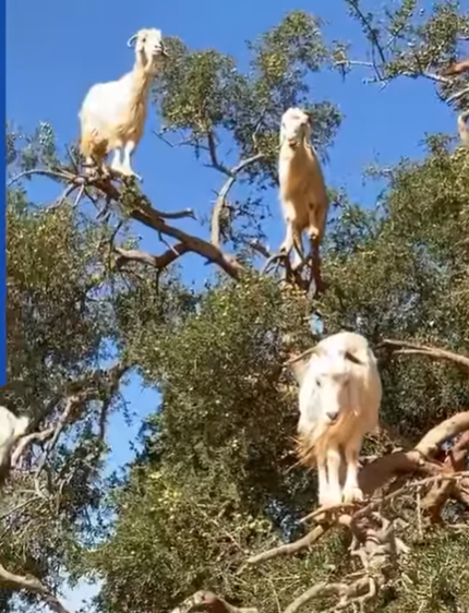 الماعز تتسلق شجرة