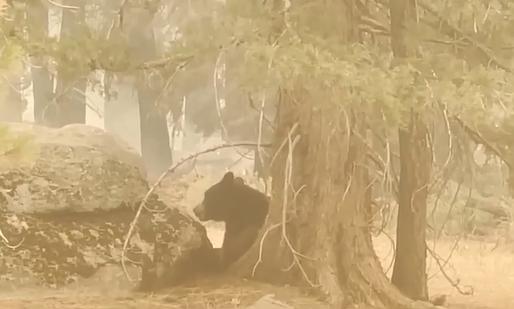 الدببة تختبأ فى الغابات