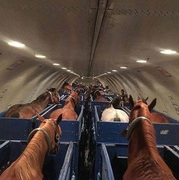 مجموعة من الخيول على متن طائرة