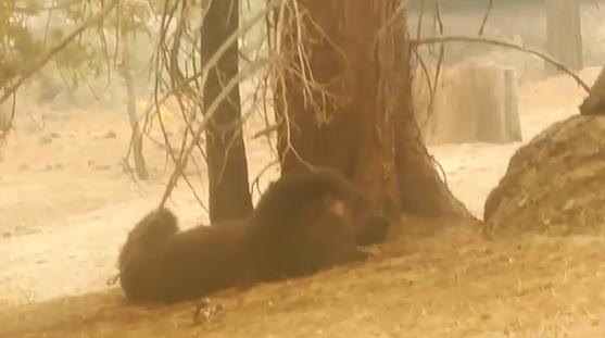 الدببة تلهو