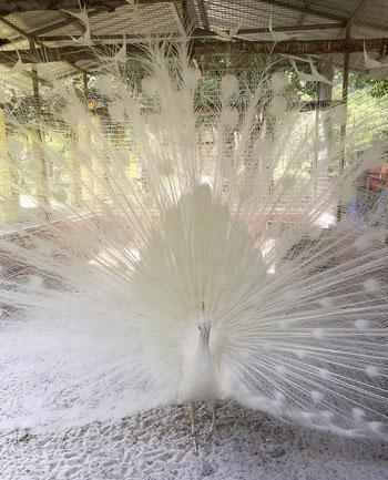 طاووس ألبينو أبيض الريش