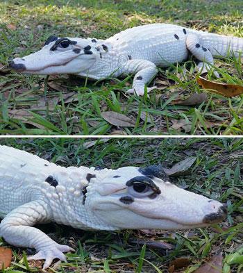 تمساح أبيض نادر