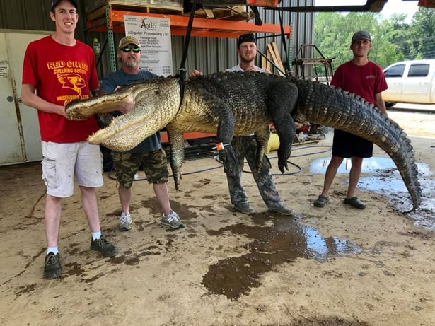 crocodile hanging