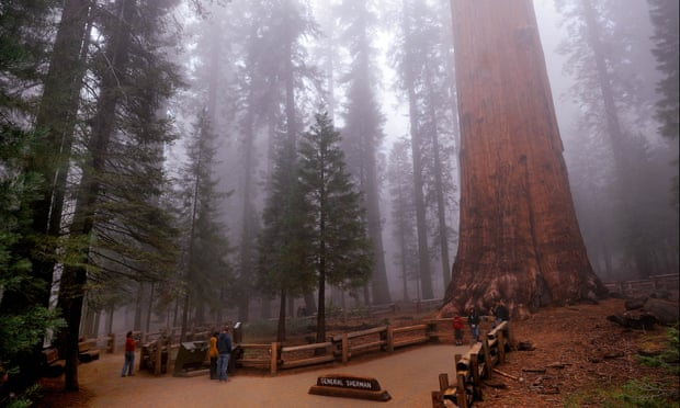 تغليف اكبر شجرة فى العالم لحمايتها من الحرائق