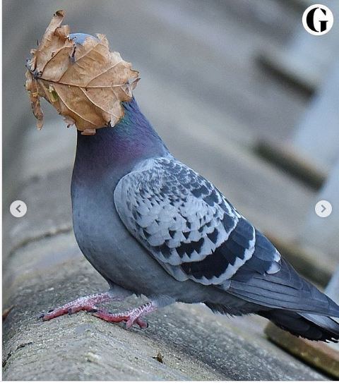 A leaf covering the face of a dove