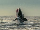 القرش وهو يعود للماء مرة أخرى.