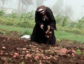 محصول البطاطس - أرشيفية