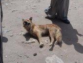 كلاب ضالة بالطرق فى كفر الشيخ