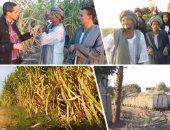 زراعة القصب - أرشيفية