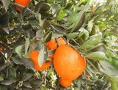 ارشيفية - اشجار البرتقال