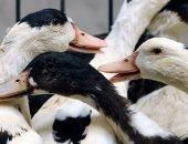 أنفلونزا الطيور - صورة أرشيفية