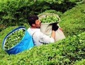زراعة الشاى – صورة أرشيفية