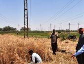 حصاد القمح فى أسوان