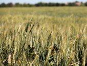 زراعة القمح - أرشيفية
