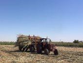حصد محصول الذره الشاميه