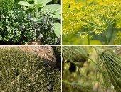 نباتات طبية - أرشيفية