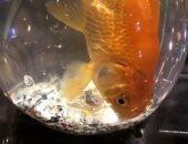 السمكة داخل الشيشة