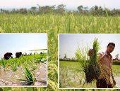 زراعة الأرز - أرشيفية