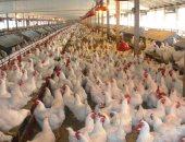 دجاج ـ صورة أرشيفية