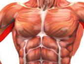 العضلة العضدية-صورة أرشيفية