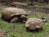 تزاوج ذكر السلحفاة المعمر بحديقة حيوان الجيزة