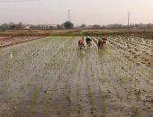 حقول ارز - أرشيفية