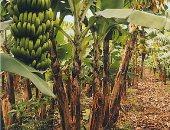 محصول الموز