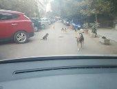 الكلاب فى شوارع زهراء المعادى