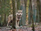 صورة أرشيفية - ذئب