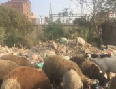 خراف الأضاحى تتغذى على القمامة بأرض اللواء