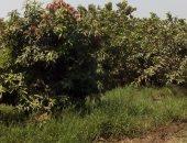 أشجار الجوافة - أرشيفية