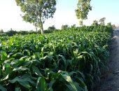 زراعة محصول الذرة - أرشيفية