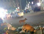 انتشار الكلاب الضالة بالمنطقة
