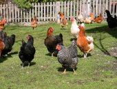 دجاج-ارشيفية