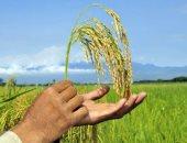 زراعات الأرز -أرشيفية