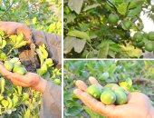 مزارع الفاكهة والموالح بالأراضى القديمة