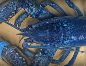 استاكوزا زرقاء نادرة