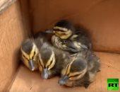 صغار البط بعد انقاذهم
