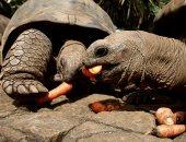 السلاحف العملاقة تأكل الجزر