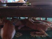 القطة ترضع صغارها تحت الطبلية