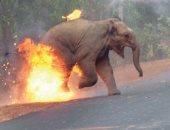 فيل يحترق