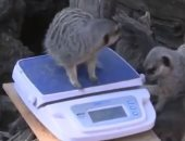 قياسات وزن للحيوانات