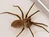 العنكبوت السام - صورة أرشيفية