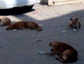 الكلاب الضالة بحلوان