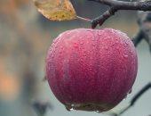 التفاح من الفواكه التى تساعد فى خفض الوزن